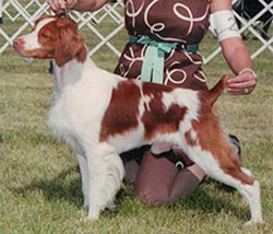 Brittany | GCH CH Copley's Looks Good On Paper | Behr