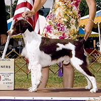 Liver Brittany | Champion  Millette Paint The Town Brown